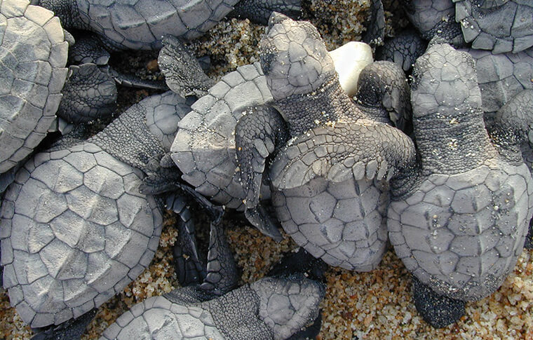 A pile of baby black/grey turtles crawling on the sand
