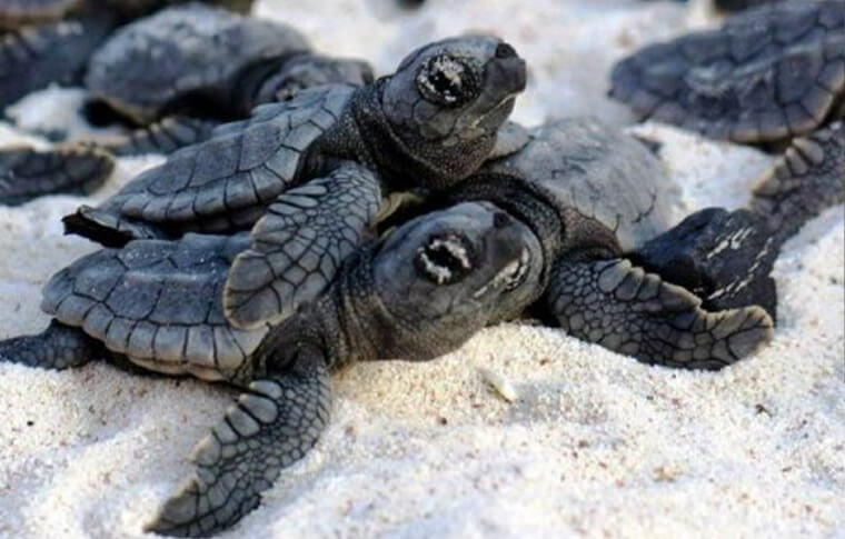A bunch of small baby black turtles crawling on the sand